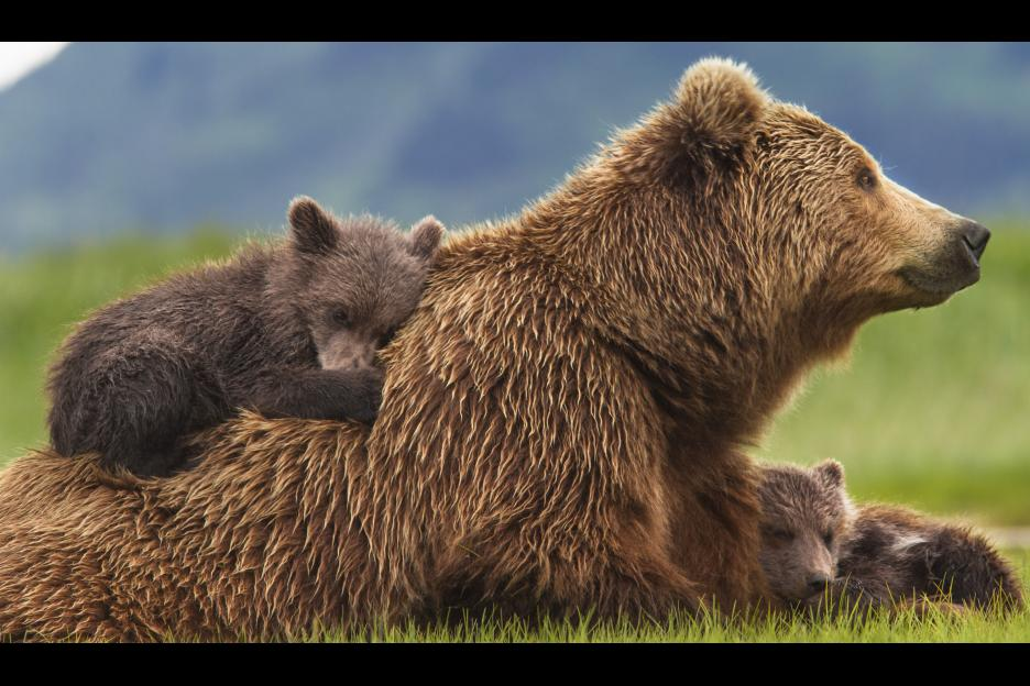 Parents Guide to Disneynature Bears + Child Activities