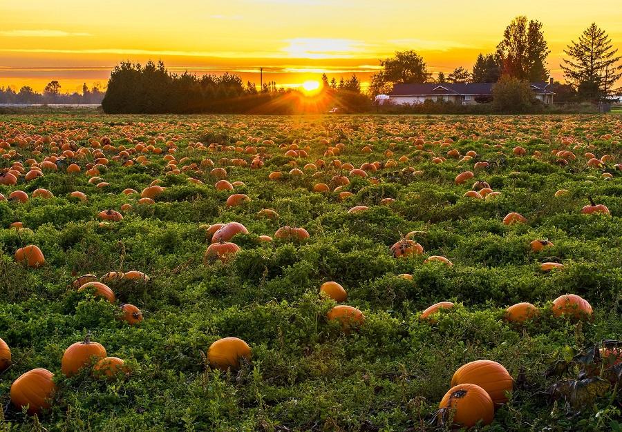 Pumpkins in a Field for Pumpkin Drinks