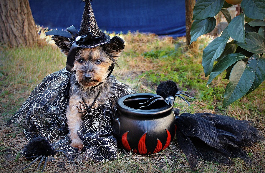 DIY Halloween Costumes Dog Dressed as a Witch