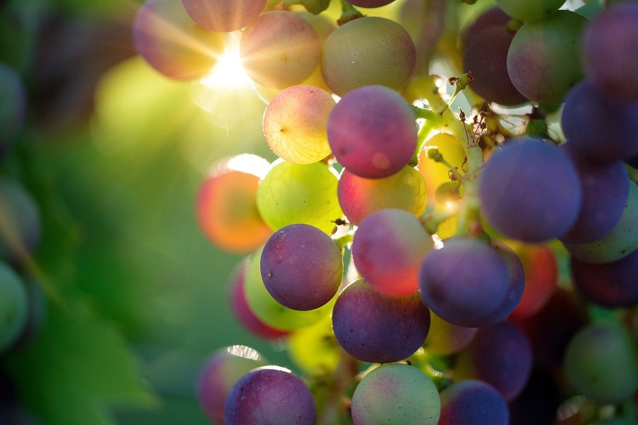 DIY Wine Gifts for Women Close Up of Grapes on a Vine